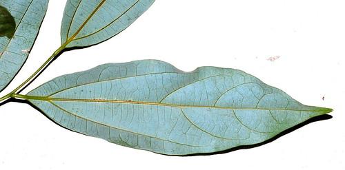 Cryptocarya grandis