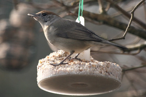 Mrs Blackcap by Laura Whitehead, on Flickr