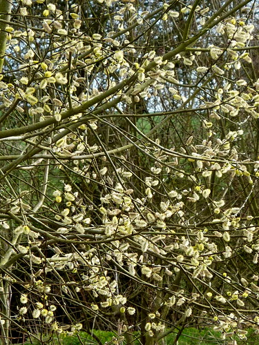 Pussy willow (3)