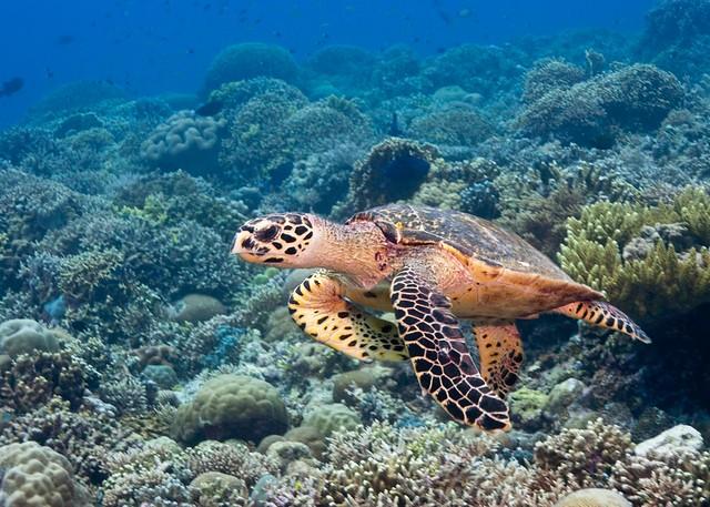Tubbataha Reef: Sea Turtle