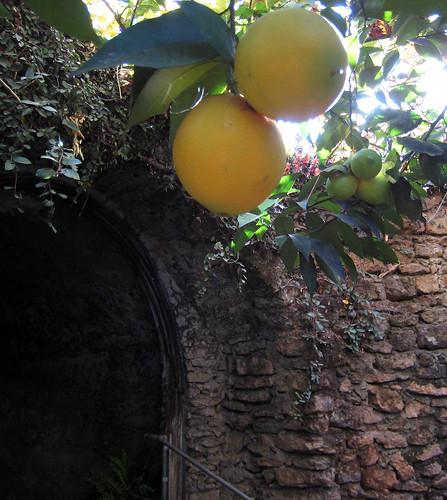 Grafted orange-lemon trees