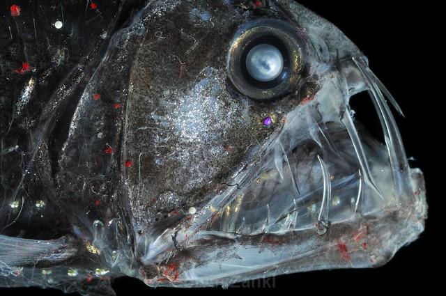 Deep Sea Viperfish Chauliodus sloani