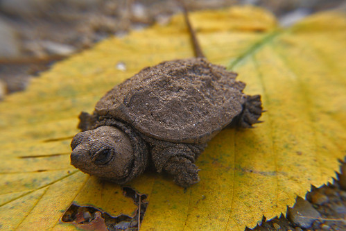 Baby Snapper by cobes530