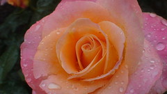20090613_4 rOSE AND RAIN DROPS #12