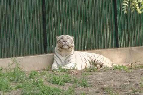 White Tiger, Delhi Zoo