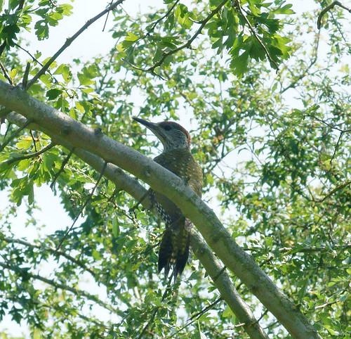 Green woodpecker (Picus viridis), juv.