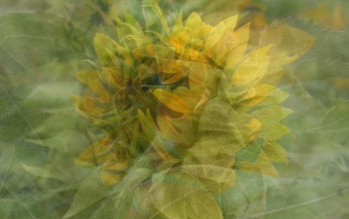 sunflower3-w