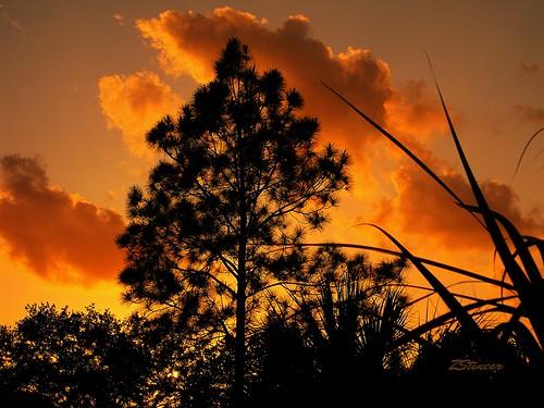 Pine Tree & Sunset