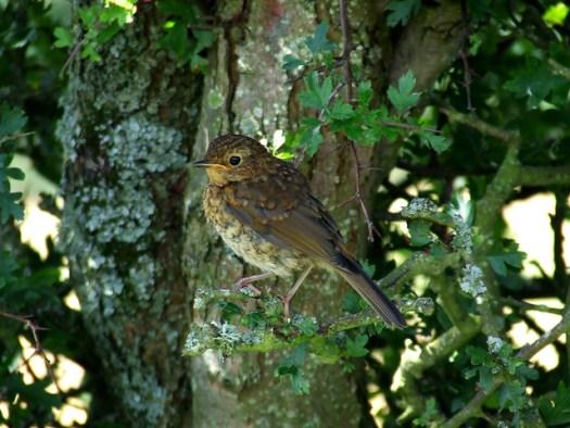 juvenile European robin in hawthorn-1
