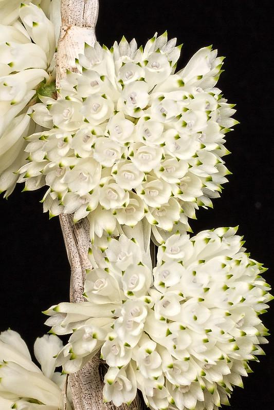 Resultado de imagem para Dendrobium purpureum