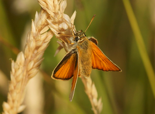 Small skipper (Thymelicus sylvestris)?
