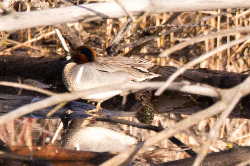 _DSC6867 Green-winged Teal