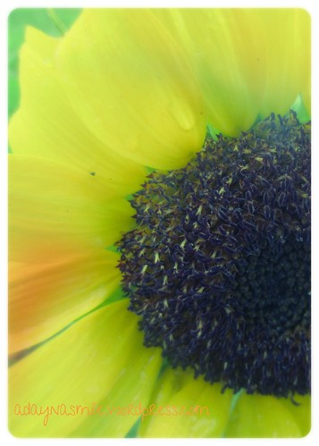 another sunflower 2