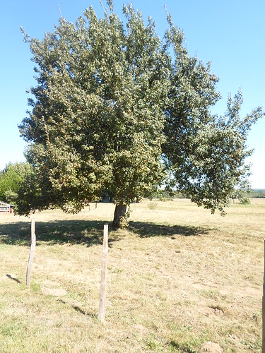 Pear Tree in the Sun