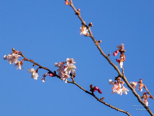 frühe Blüten