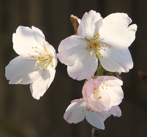 Cherry blossoms_0011.jpg by Patricia Manhire