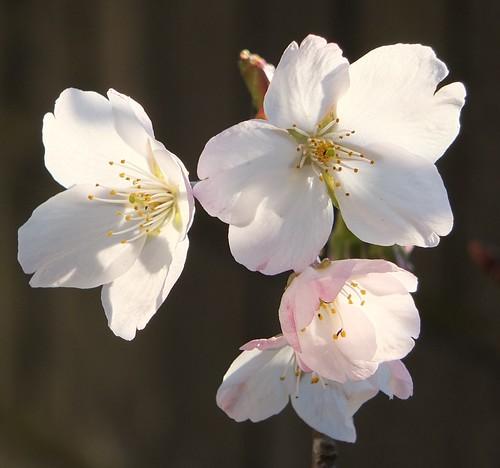 Cherry blossoms_0011.jpg by Patricia Manhire