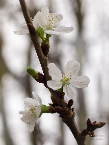 Kirschblüten im Januar ...