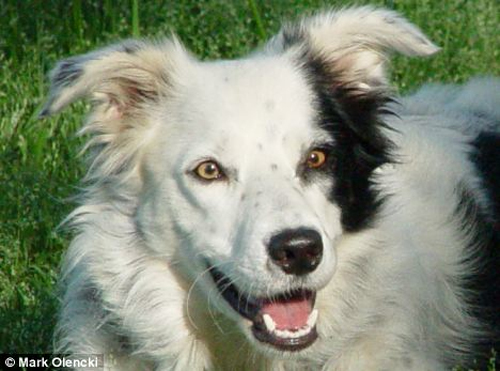 chaserbordercollie