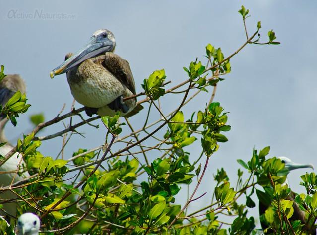 pelican 0000 mangroves, Progreso, Yucatan, Mexico