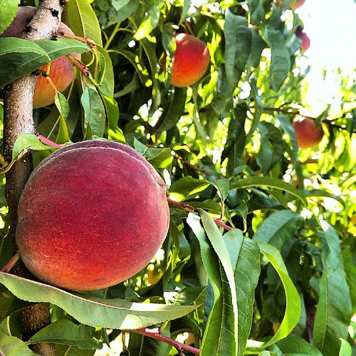 Look! Peaches in trees!