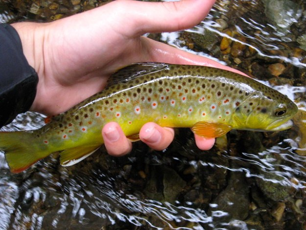 Sustainable Wild Trout in Baltimore County, Maryland