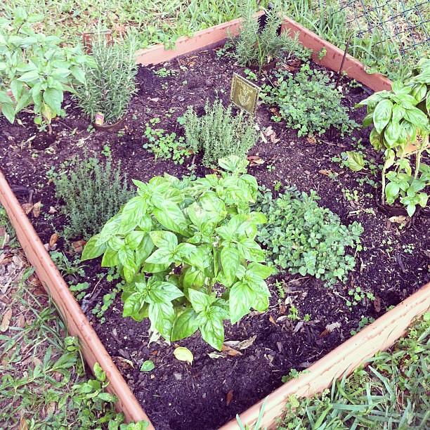 Herb garden likes the rain!