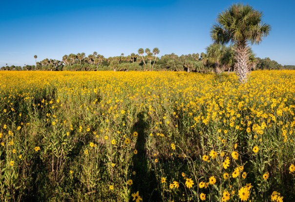 Swamp Sunflower fields pano
