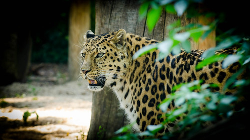 Amur Leopard by Stavros043
