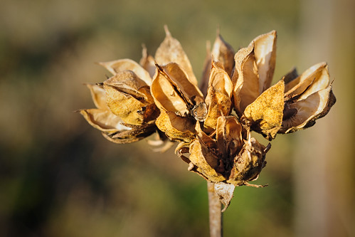 Hibiscus by OK's Pics