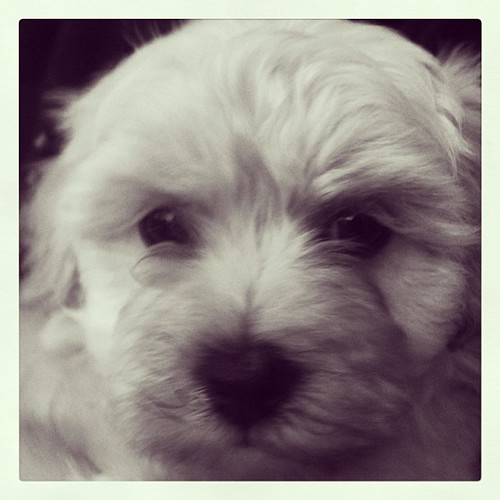 A face that's hard to resist #puppy #dogs by @MySoDotCom