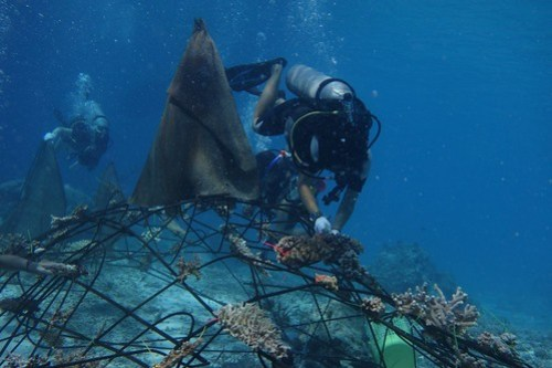 Leslie attaching a coral fragment to Jamie-the-Whaleshark