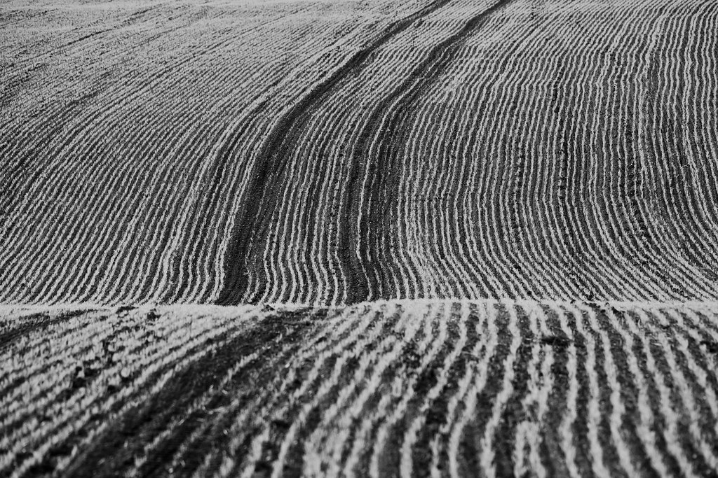 The First Shoots of the New Crops, in Black and White