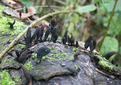 Xylaria longipes Dead Molls Fingers Tophill Low NR, East Yorkshire November 2013