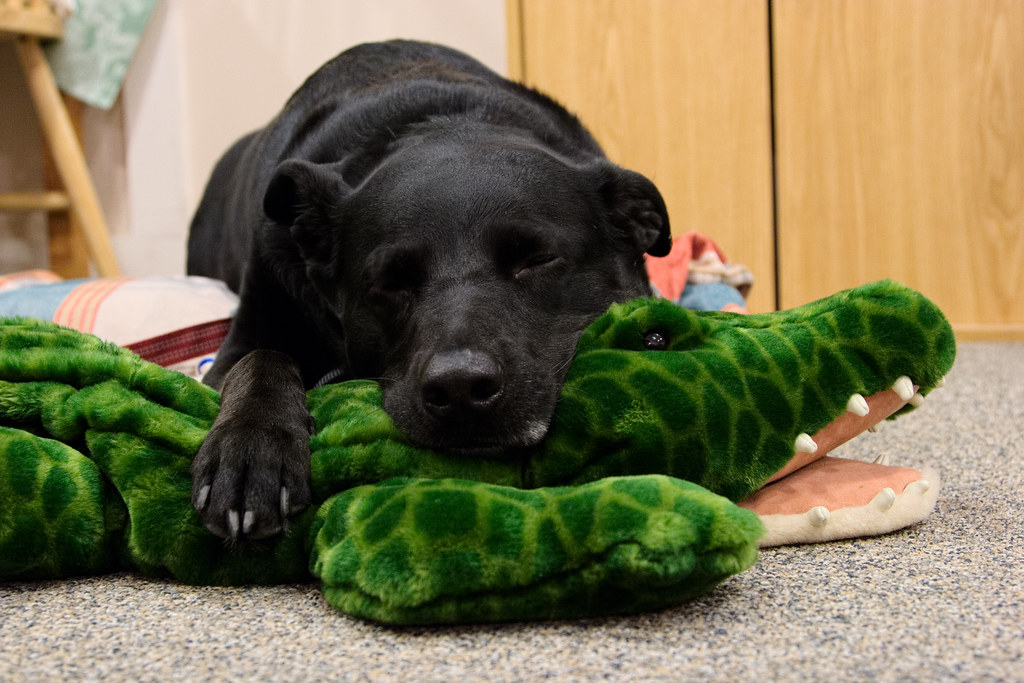 Our dog Ellie sleeping on a plush alligator