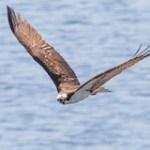 Adult Male Osprey,.