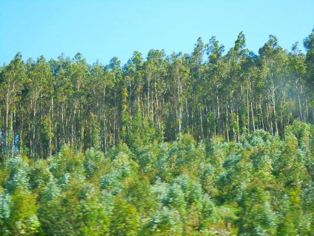 El paisaje agrario del clima oce nico geobiombo - Informacion sobre el eucalipto ...