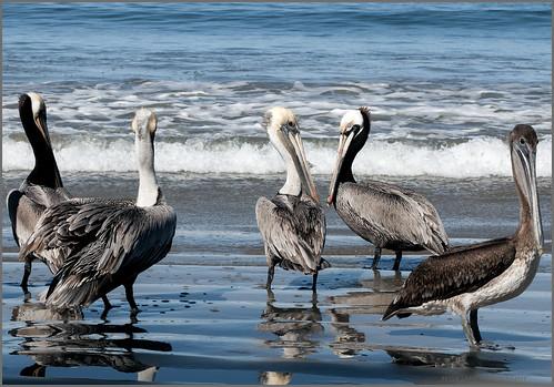 pelicans3