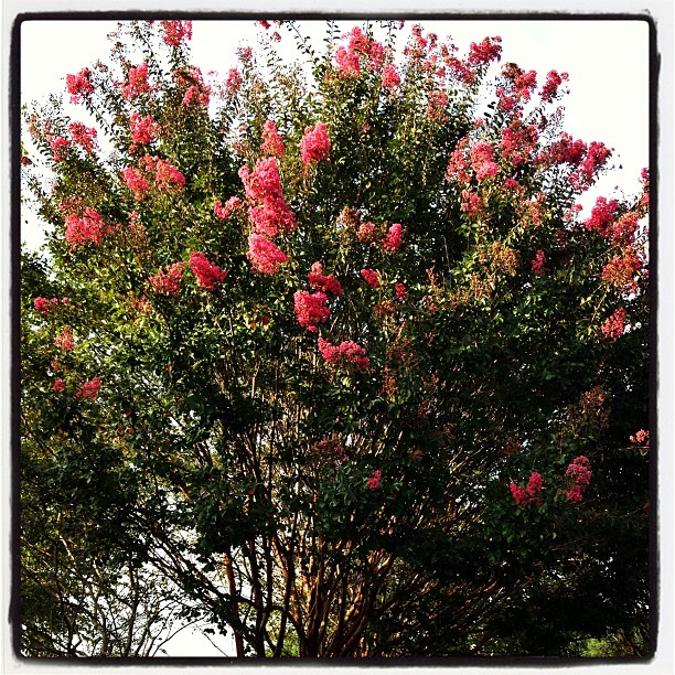 Sep 15 - excitement {seeing a fully blooming Crepe Myrtle this late in the season} #photoaday