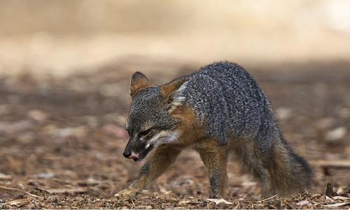 Santa Cruz Island: Island Fox