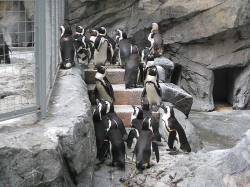 ペンギン、たくさんいます