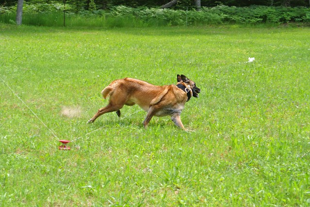 Dazzle Lure Coursing