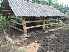 Water buffaloes in their pen in Northwest Vietnam