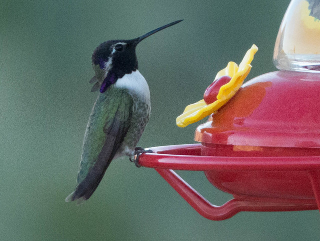 Costa's Hummingbird-1080137