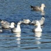 Herring Gulls Enjoying A Bath In The River Don Aberdeen Scotland