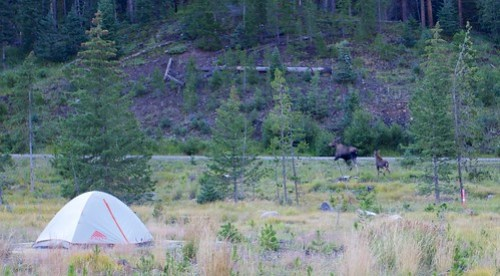 Camping with moose
