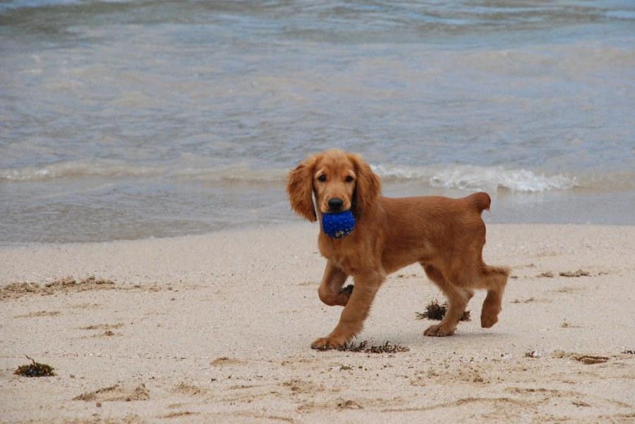 Cocker jugando en la playa