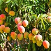 mango-fruit-hd-wallpaper-0004