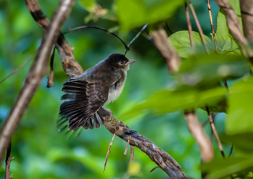 Eastern Wood Pewee fledgling by muscogeegirl