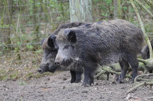 Wildschweine im Skandinavisk Dyrepark in Kolind